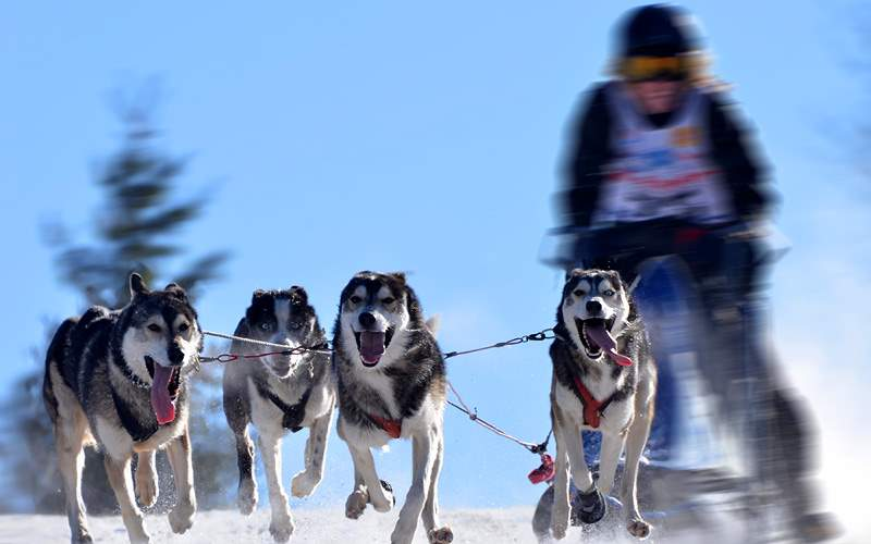Dog Sled Race Royal Caribbean Alaska Cruises