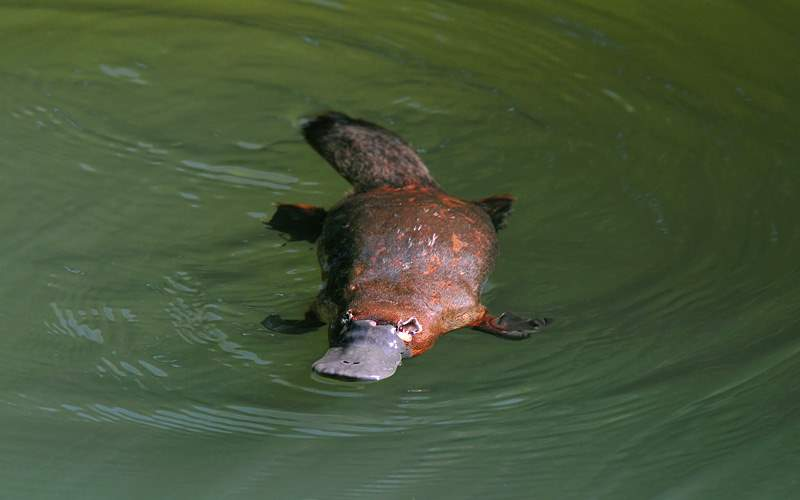 Wild platypus swimming Royal Caribbean Australia