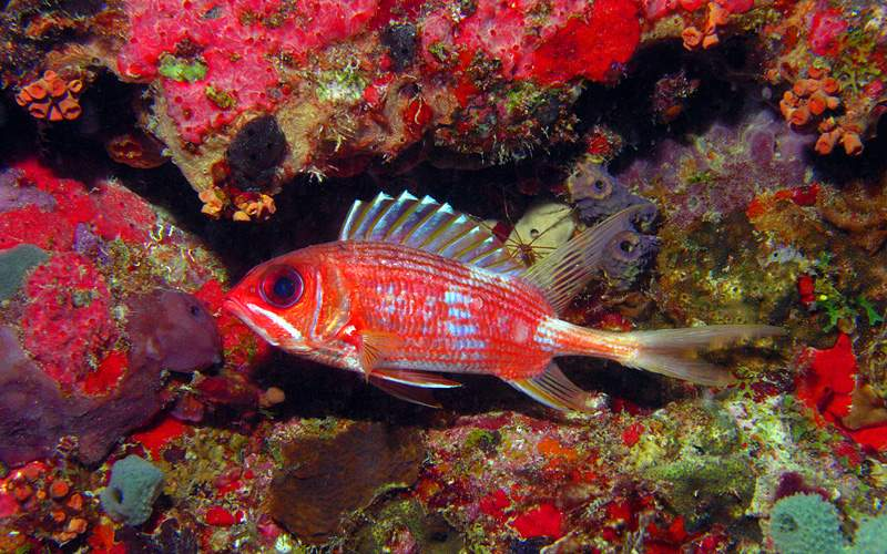 Longspine Squirrelfish in coral Royal Caribbean