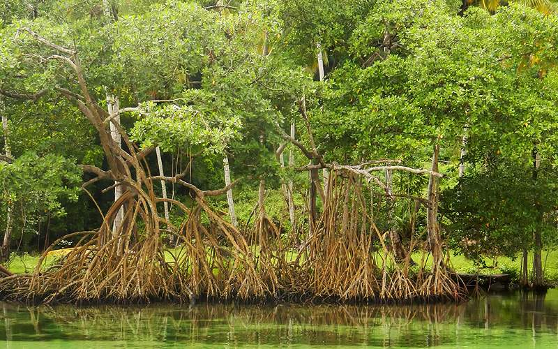 Mangrove trees in the Dominican Republic Royal Car