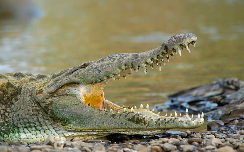 Crocodile on the Tarcoles River Panama Canal Royal