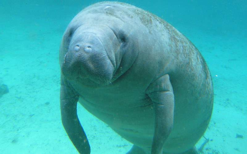 West Indian Manatee swimming Repositioning Royal