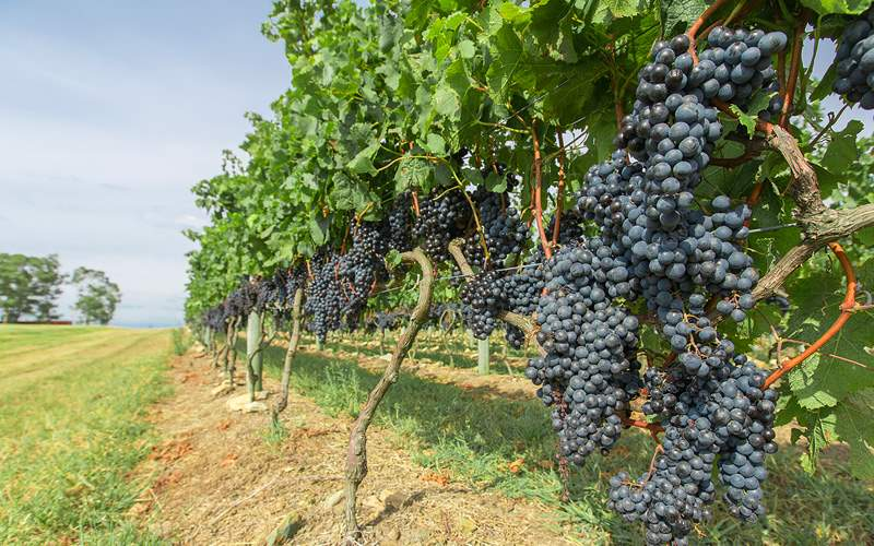 Grapes on a vine at a Vineyard in Uruguay Royal