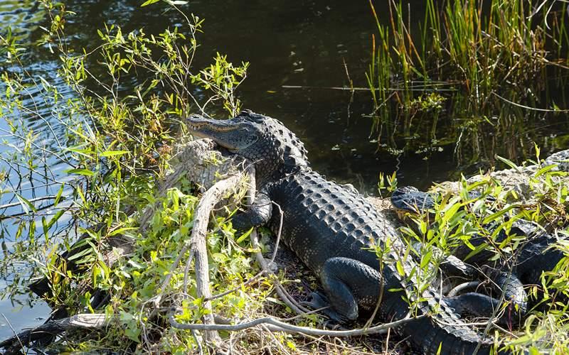 Alligators in Everglades National Park in Florida