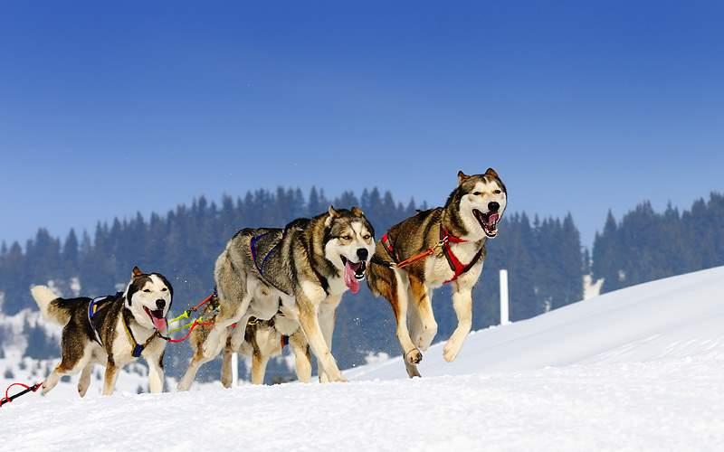 Dog sled team in Juneau