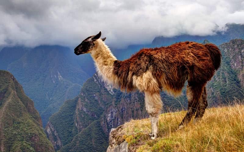 Alpaca Machu Picchu, Peru