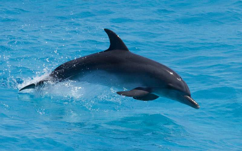 Atlantic Spotted Dolphin in the Bahamas
