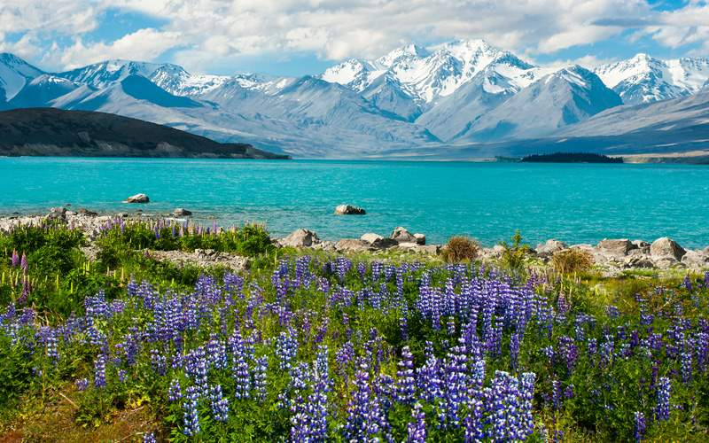 Blue lake Tekapo with blooming lupins, New Zealand