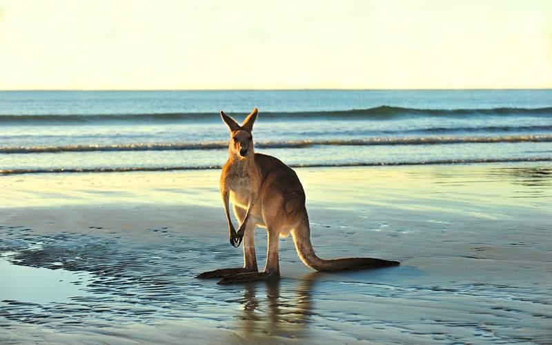 Australian Eastern Grey Kangaroo on beach in Austr