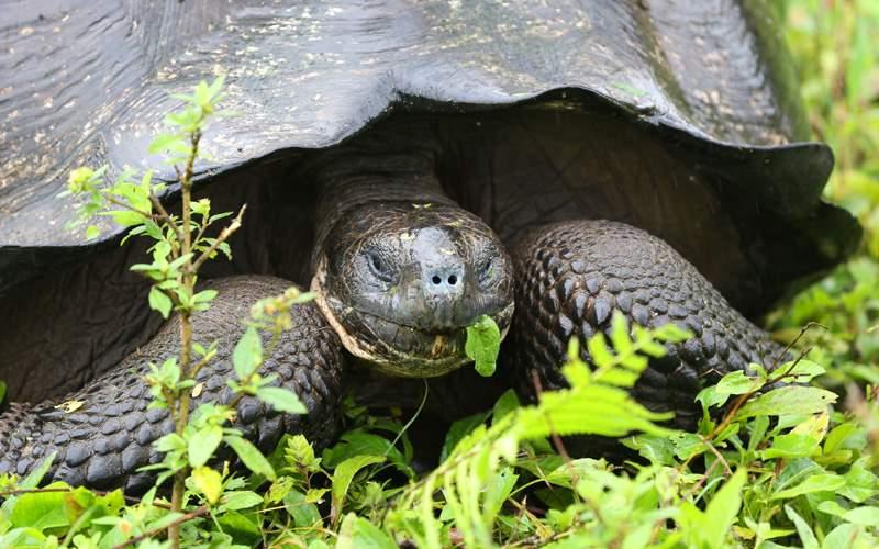 Giant tortoise in Ecuador Avalon Waterways