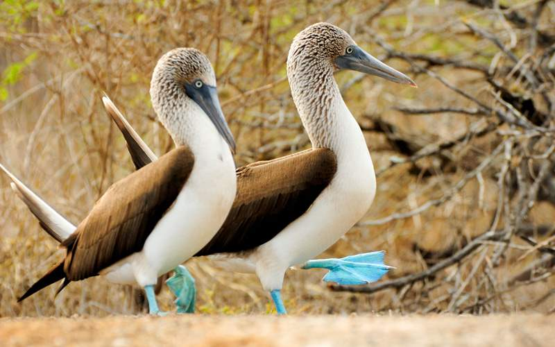 blue footed boobie Galapagos Avalon Waterways
