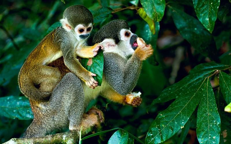 squirrel monkey Amazon Rainforest Avalon Waterways
