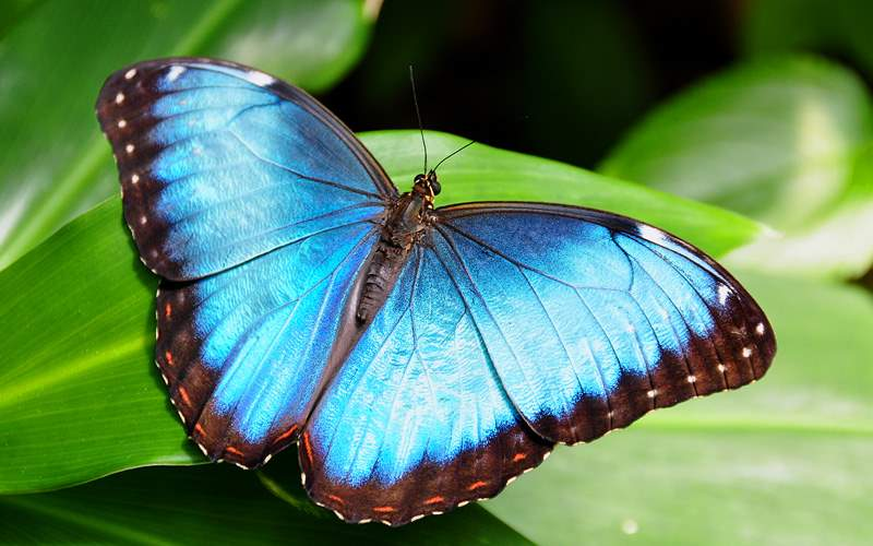 Blue Morpho Butterfly Azmara Club Cruises Panama