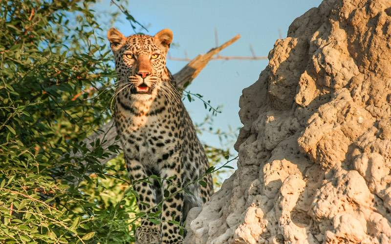 See Leopards in Port Elizabeth