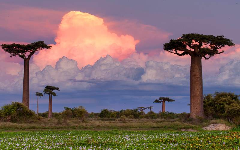 Baobab Alley Madagascar pink sunset in Africa