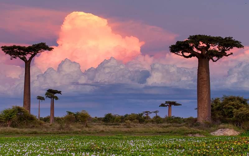Baobab Alley Madagascar pink sunset in Africa