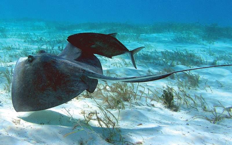 stringrays swimming Carnival Cruises Transatlantic