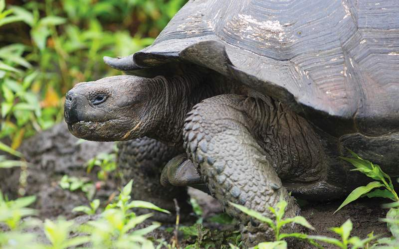 giant Galapagos tortoise Celebrity Cruises