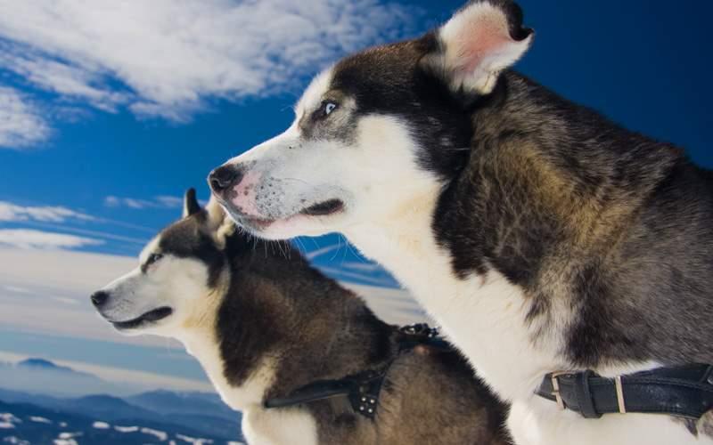 A pair of Huskies
