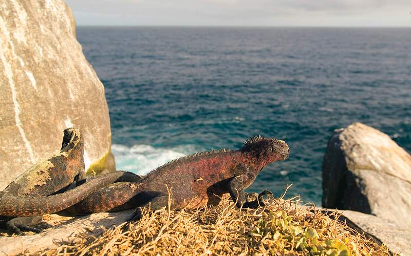 iguana perched on a rock Celebrity Cruises