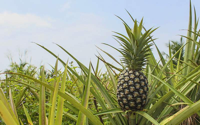 Hawaii pineapple plantation Celebrity Cruises