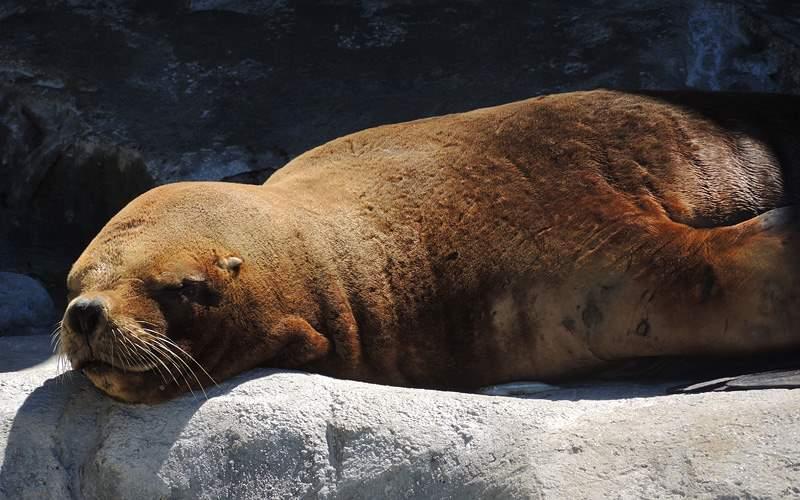 Southern sea lion Celebrity Cruises South America