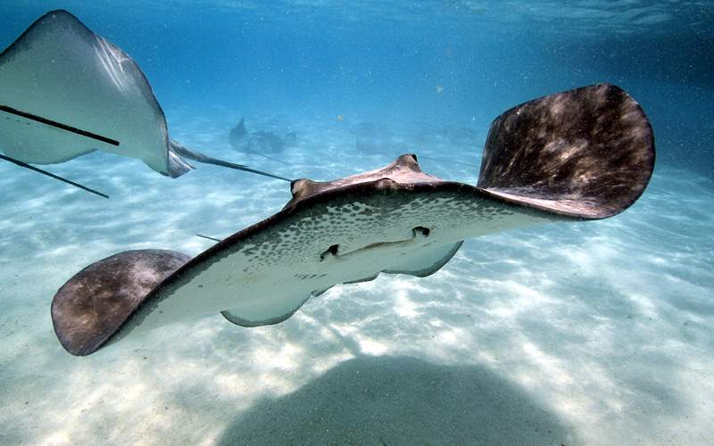 Stingray in Caribbean Water Celebrity Cruises