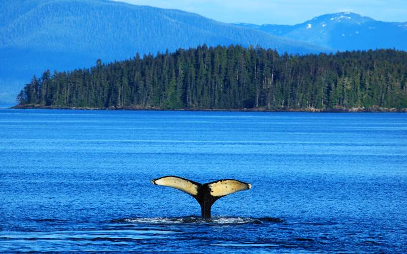 The whale shows the tail in Alaska