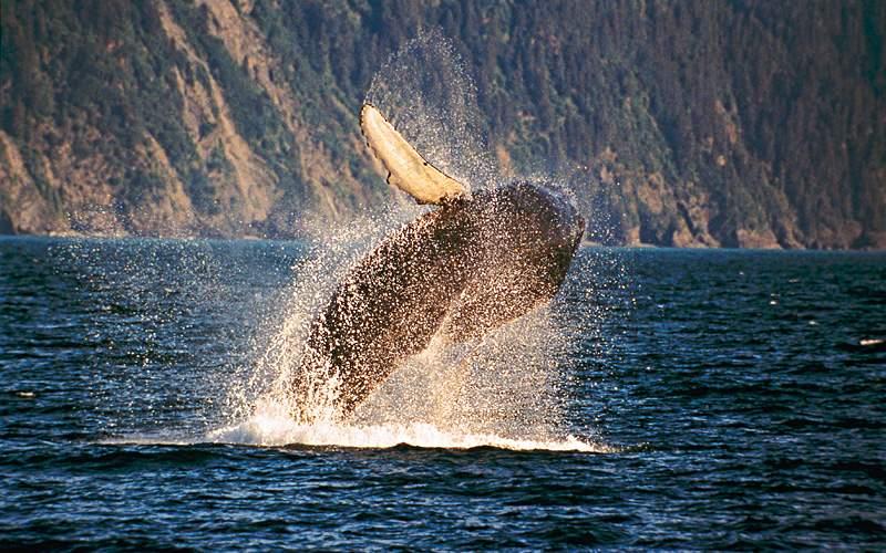 Whale breaching Kenai Fjords Alaska Celebrity