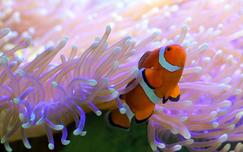 Clown fish sea anemone in Australian waterways