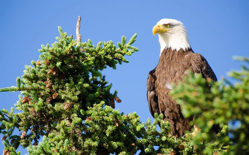 bald eagle perched in tree Alaska Crystal Cruises