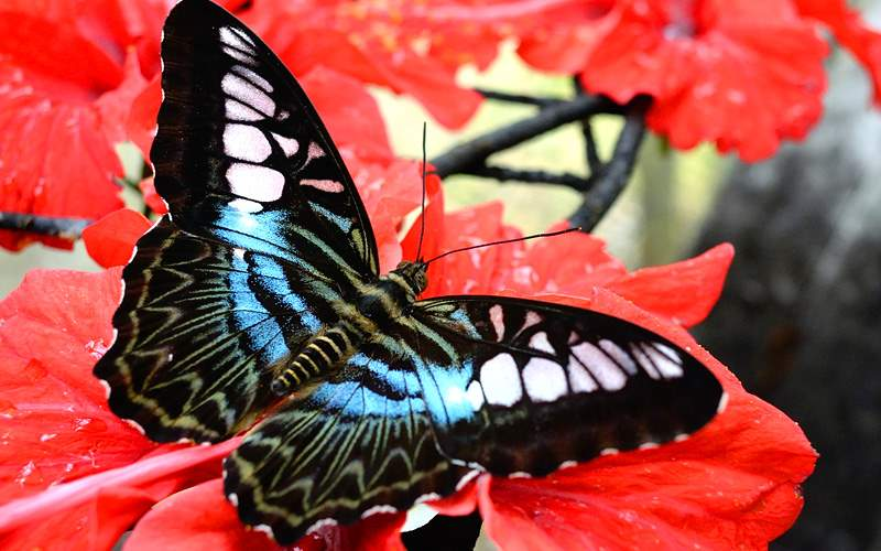 Eastern Caribbean butterfly Crystal Cruises