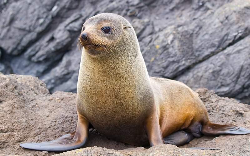 Fur seal in New Zealand Crystal Cruises Australia