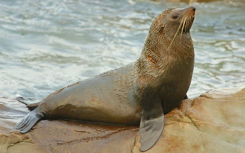 South America fur seal on rocks Crystal Cruises
