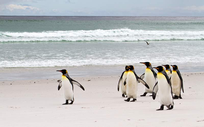 South America king penguins Crystal Cruises