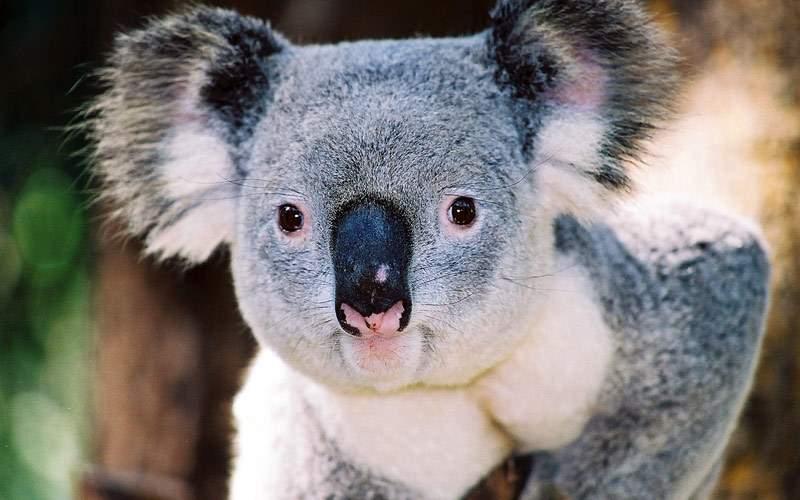 Koala in Australia Crystal Cruises