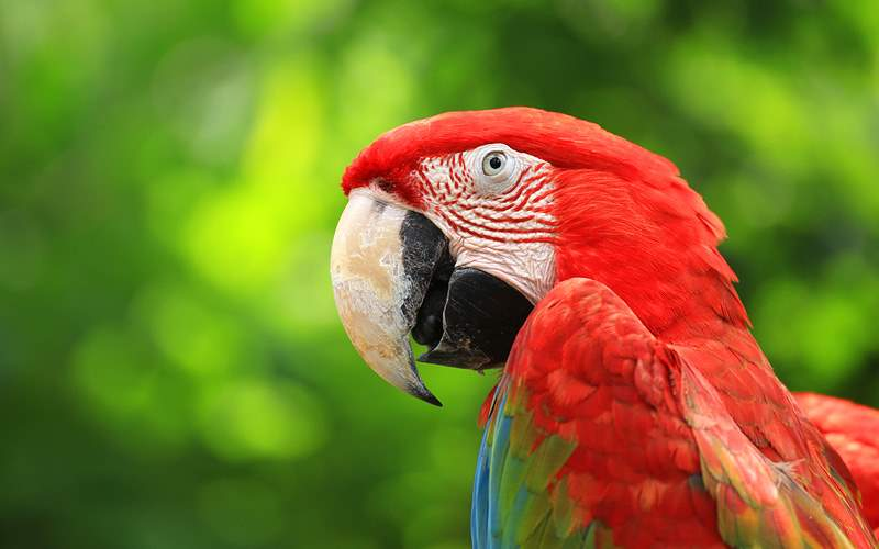 Scarlet Macaw in Costa Rica Crystal Cruises