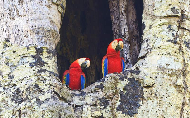 Scarlet Macaws Carara National Park Crystal Cruise