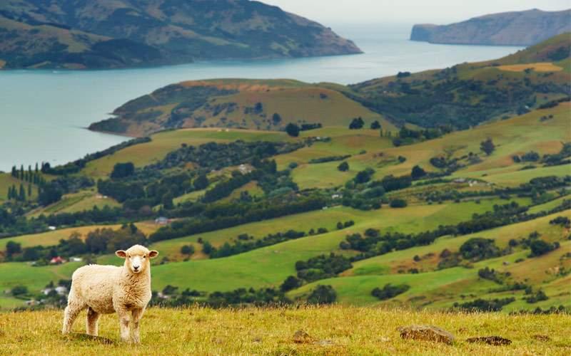 Sheep Banks Peninsula New Zealand Crystal Cruises
