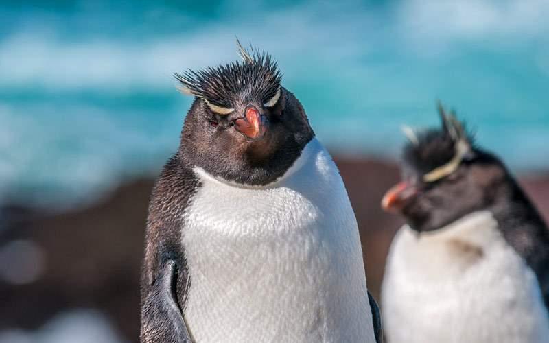 Antartica rockhopper penguins Crystal Cruises