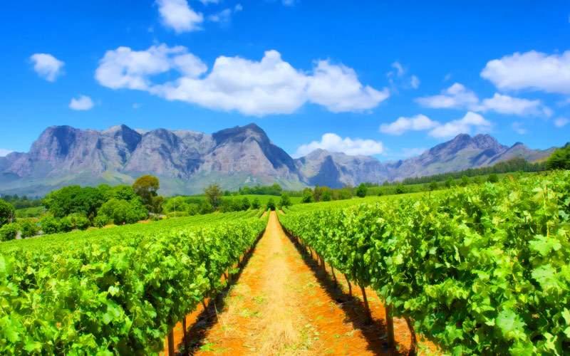 Vineyard in South Africa Crystal Cruises