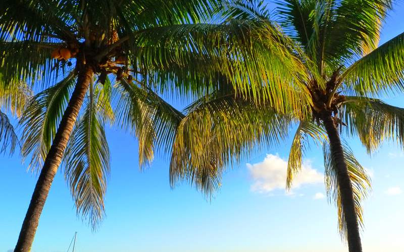 Palm Trees in Mauritius - Cunard Line