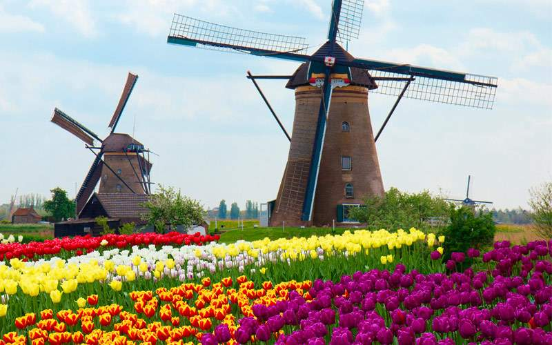 Dutch Windmills over rows of tulips field Netherla