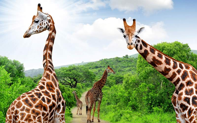 Giraffes in Krugar Park South Africa