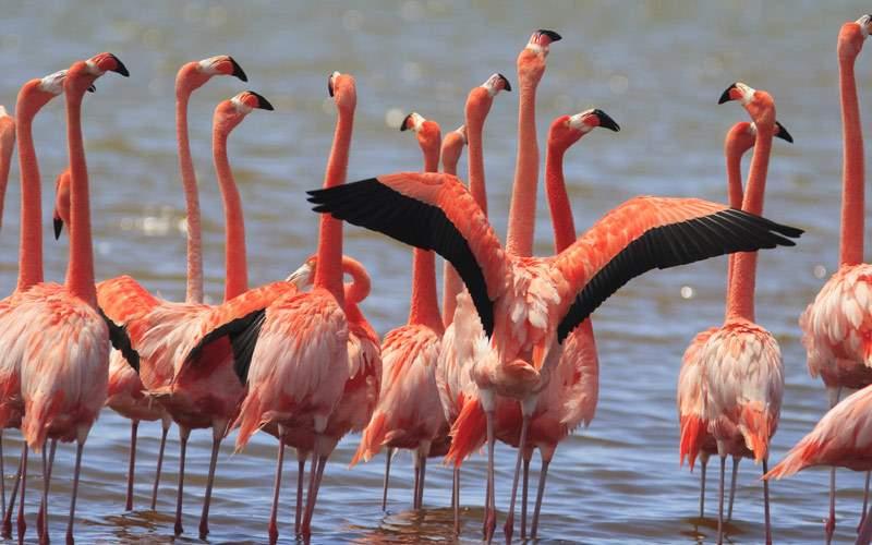 Greater Flamingo on the Island of Bonaire