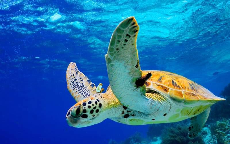 Green Sea Turtle swimming in the Caribbean