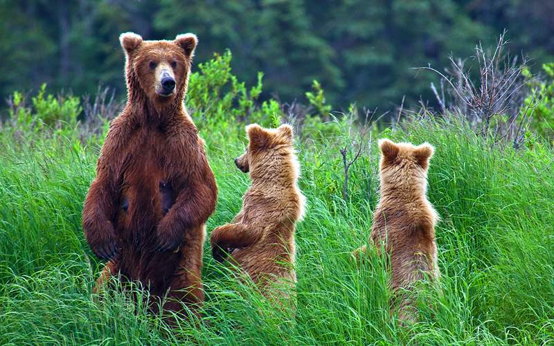 Grizzly bears at Katmai National Park