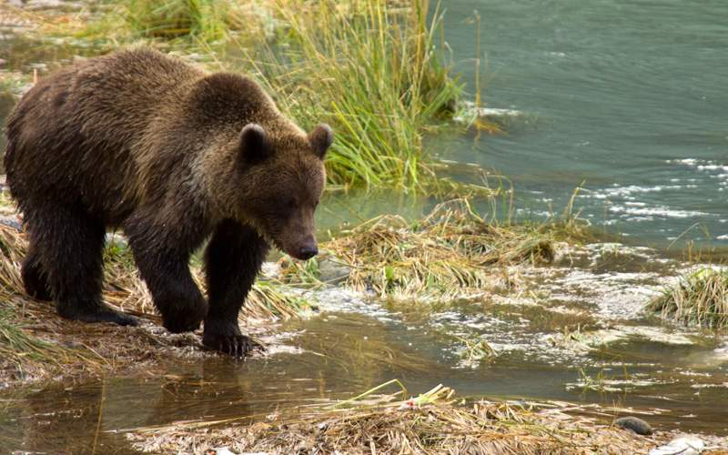 Alaskan brown bear fishing in the Chilkoot River