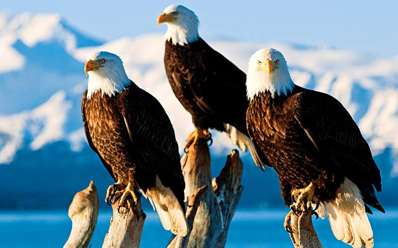 Bald eagles in Alaska Holland America Line