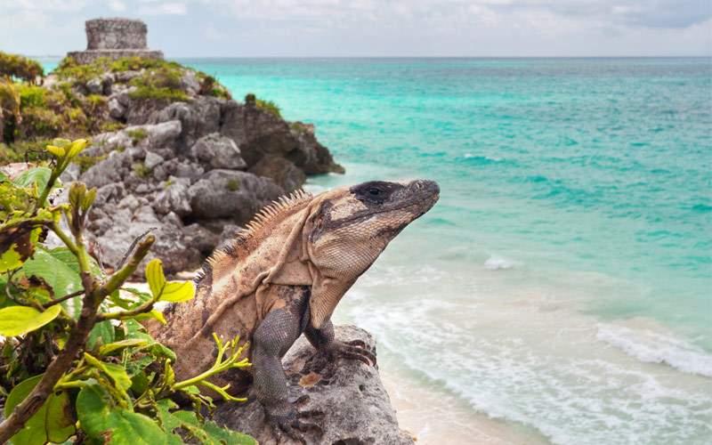 Iguana Tulum Mexico